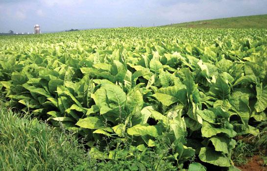crop-of-jute-in-india