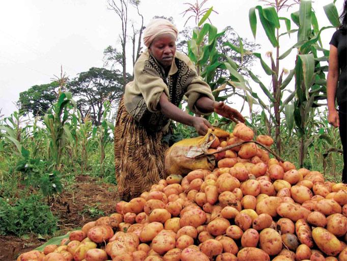 potato-in-field